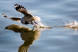 Seagull catching the fish