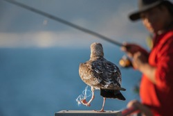 Seagull caught in a fishing line with fisherman