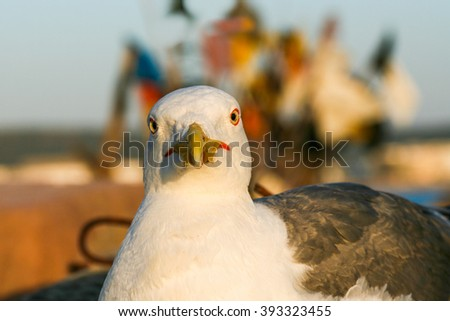 Seagull close-up on a background of fishing nets and buoys in old port of Essaouira