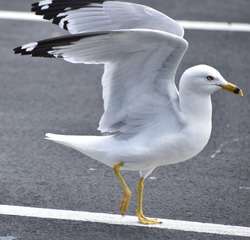 Seagull dancing, standing on pavement, wings held up.  Is a Ring Billed Gull.