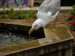 Seagull drinks water from  a Fountain