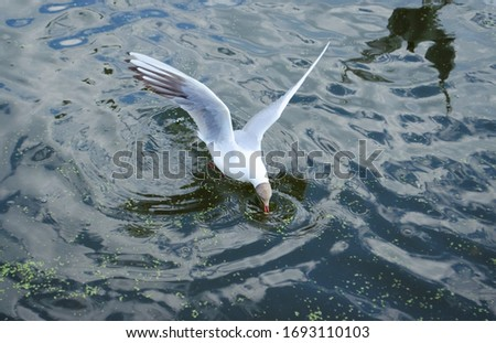 Seagull eat something. Bird found something in the water. Seagull on water. Seagull wingbeat. Seagulls on pond. Bird on motion. Reflection on water.