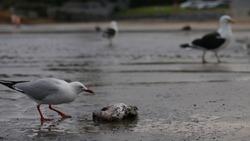 Seagull eating dead fish on beach wildlife new zealand bird eating natural feeding