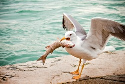 seagull eating fish near the river, hungry concept