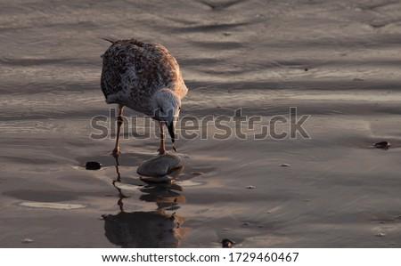 Seagull Eating on the Beach at Sunrise Stock fotó ©