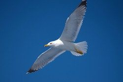 seagull flies over a ship in the Aegean Sea