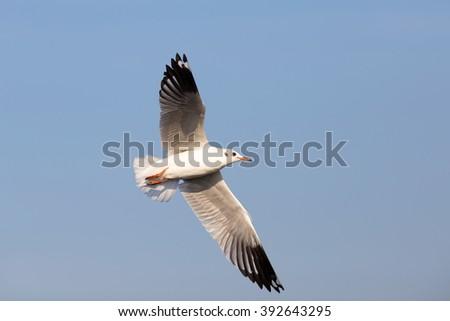 seagull flock  #392643295