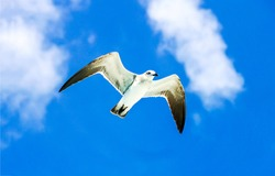 Seagull fly in blue sky. Seagull freedom sky