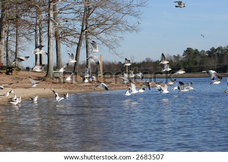 Seagull Fly in Lake Wheeler, Raleigh NC - stock photo