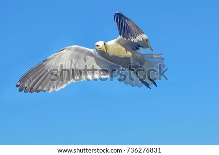 seagull flying #736276831