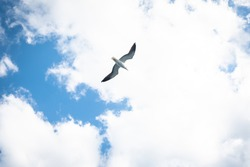 Seagull flying. A wild white sea bird hovers in the air under the clouds. Flight of a Seagull close up in the sky.