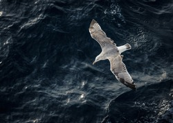 Seagull flying above the water