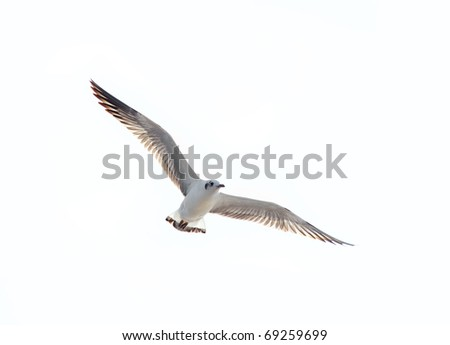 seagull flying action on isolated white background
