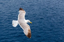Seagull flying against the blue sea as a background