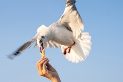 Seagull flying and eating crackling from hand feeding, famous activity for traveller at Bang Pu Thailand, selective focus.