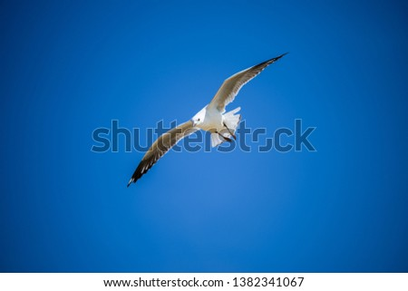 Seagull flying and take off in Pacific Ocean ストックフォト ©