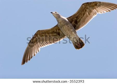 Seagull flying away wings open