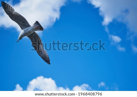 seagull flying high on the wind. flying gull. Seagull flying on beautiful blue sky and cloud. Stockfoto ©