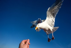 Seagull flying in a blue sky as a background, close up bird portrait, white bird with wide outstreached wings flying towards hand, wildlife scene from nature, Norway