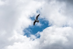 Seagull Flying in a Cloudy Sky