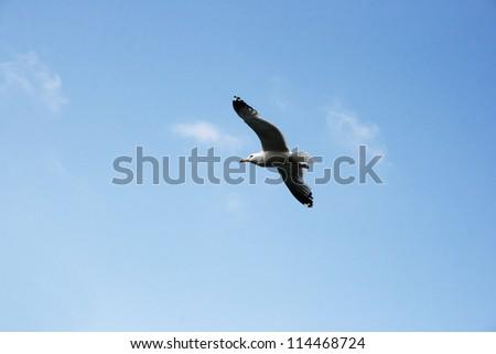 Seagull flying in blue sky.