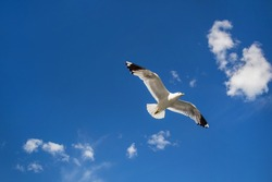 Seagull flying in clear sky at summer day. seagull flying among the clouds