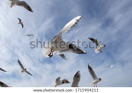 Seagull flying in sky. A flock of seagulls soaring in the blue sky. At one flying seagull on the foot you can see a ring marking.Seagull flying sky as freedom concept,birdwatching and protection.