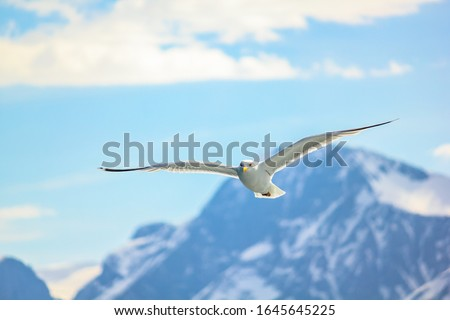 Seagull flying in the mountain sky in Stavanger, Norway. European herring gull, Larus argentatus, isolated on mountain sky background. Front view.