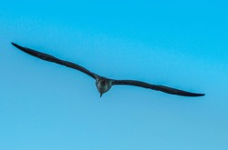Seagull flying in the sky. Single seagull flying in a blue sky background. Marine birds. Silhouette  bird