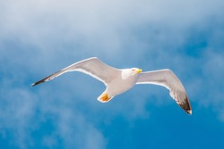 Seagull flying in the sky with clouds. Elba Island, Italy. An European herring gull, Larus argentatus, a large gull, isolated on sky background. close up