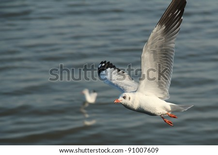 Seagull flying on the sea in evening.