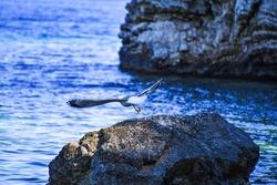 Seagull flying over rocky coast in Chrisi Milia area, Alonnisos island, Sporades Aegean sea, Greece