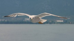 Seagull flying over the Aegean Sea - Thassos Island, Greece. Summer seascape