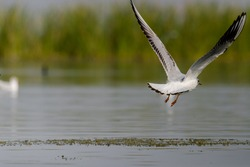 Seagull flying over the Lake Nalsarovar, Gujarat