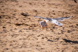 Seagull flying over the sand at the beach with a plastic box of trash in its mouth
