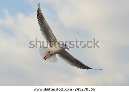 Seagull Flying, Seagull, Gull, Seabird, Bird, Bird Flying, White Bird, Blue Sky, Clouds Sky, Wings