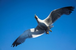 Seagull, flying up in the blue sky above Aegean Sea, Thasos Island, Greece