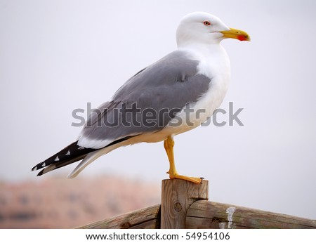 Seagull from Algarve beach (Portugal). Seagull is a specific marine bird.