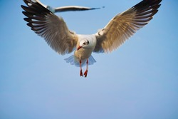 seagull full spread the wings in clear sky