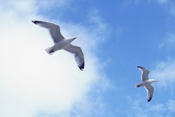Seagull glide on the thermals on a sunny summers day under a blue sky with broken white clouds