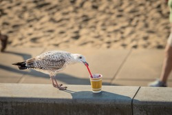 Seagull grabbing a plastic spoon and eating food from a cup left on the beach.