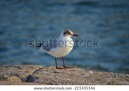 Seagull, Gull, Sea, One Animal