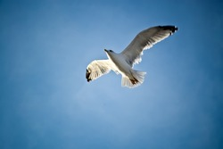 Seagull hovers on deep blue air. Gull hunting down fish. Flying gull chick. Gullchick Flies over Expanse air. Top view of silhouette of flying seagull. Bird flies over the Sea. Flight of bird