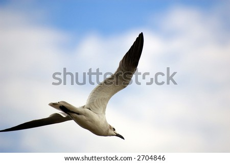 seagull in flight
