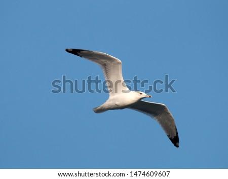 Seagull in flight against the sky. The White-headed gull (Larus cachinnans pontisus) on Black sea, Crimean