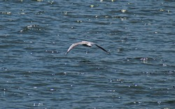Seagull in flight at sea level. The bird flies at low altitude.