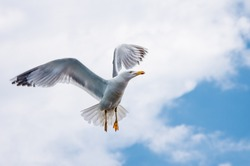 Seagull in flight in the sky