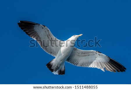 Seagull in flight on blue sky background, view from below.  Flying kelp gull, also known as the Dominican gul and Black Backed Kelp Gull. Scientific name:  Larus dominicanus.