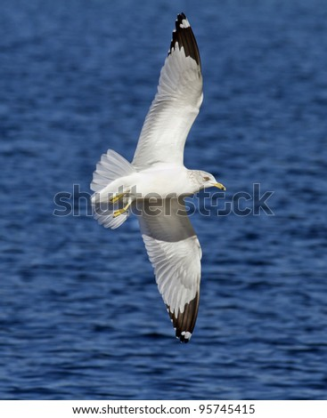 Seagull in flight spreading wings while turning in Southern California USA.