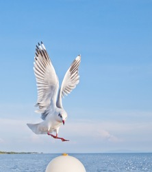 seagull in flying action with full wings spanned
